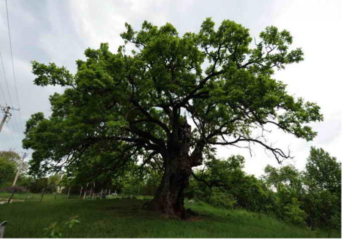 Најстарије дрво
